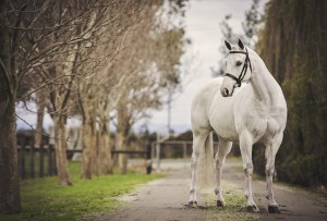Grey Arabian-Quarter Horse